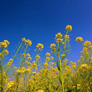 花卉攝影:黃金油菜花海!