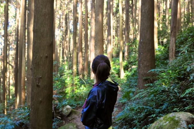 沿路上的杉木林讓人流連忘返!
